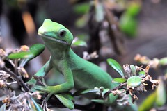 animal, amphibian, green lizard, reptile, green, fauna, dactyloidae, wildlife,