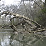 Monster Tree Lizard, San Marcos River, Luling, Texas