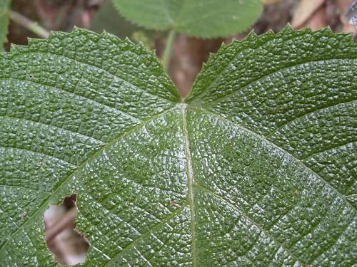 Dendrocnide cordifolia - leaf detail | by FNQ vines