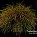 Dendrochilum wenzelii by hawaiiansunshine