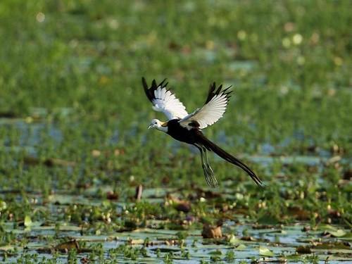 二級保育類野生動物水雉誤食摻毒種苗致死,經過3年來跨領域共同治理,終於找出最有利保育方案。(圖片來源:水雉生態教育園區)