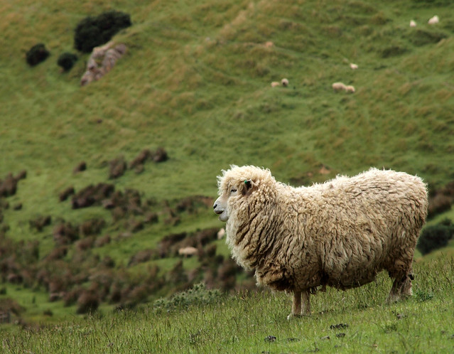 Sheep in Profile | Flickr - Photo Sharing!