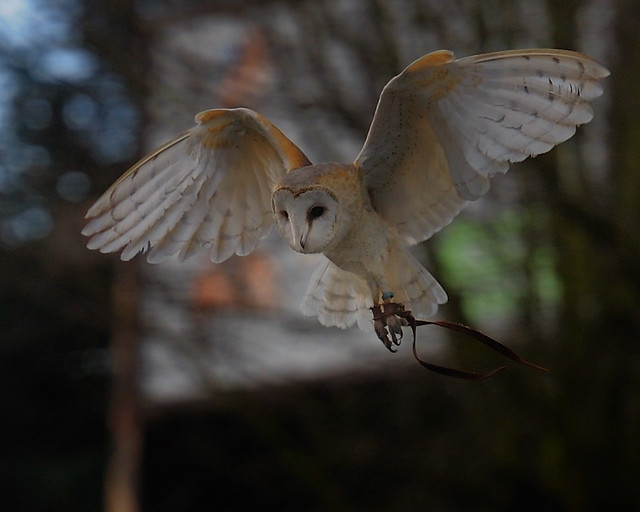 Barn owl looking for food flickr photo sharing for Food bar owl