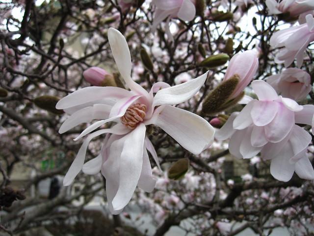 Magnolia x loebneri 'Merrill' blooms in Magnolia Plaza. Photo by Rebecca Bullene.