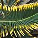 Small photo of Fulla bicolor