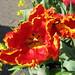 Small photo of Tulipa parkiet 'Glasnost'