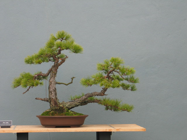 Pinus rigida in the mother daughter or double trunk style. Photo by Rebecca Bullene.