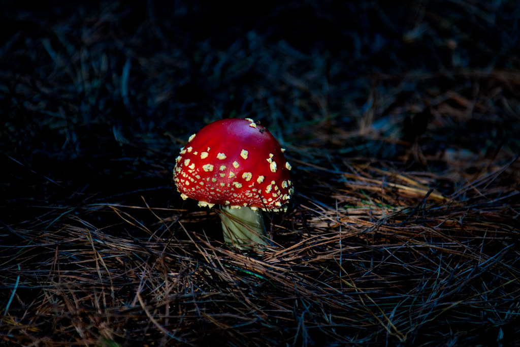 The beautiful but deadly fly agaric