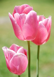 Triple Play Tulips