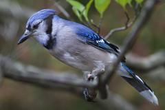 bluebird(0.0), chickadee(0.0), green jay(0.0), emberizidae(0.0), brambling(0.0), crow-like bird(0.0), animal(1.0), perching bird(1.0), branch(1.0), nature(1.0), fauna(1.0), close-up(1.0), blue jay(1.0), beak(1.0), bird(1.0), wildlife(1.0),