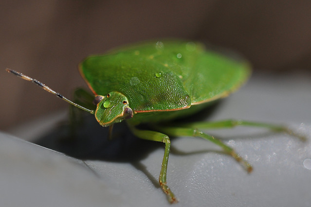 One Ugly Green Bug Flickr Photo Sharing