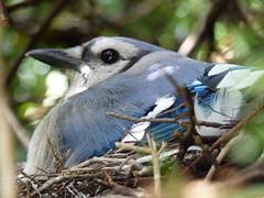 2010 Blue Jay Nesting