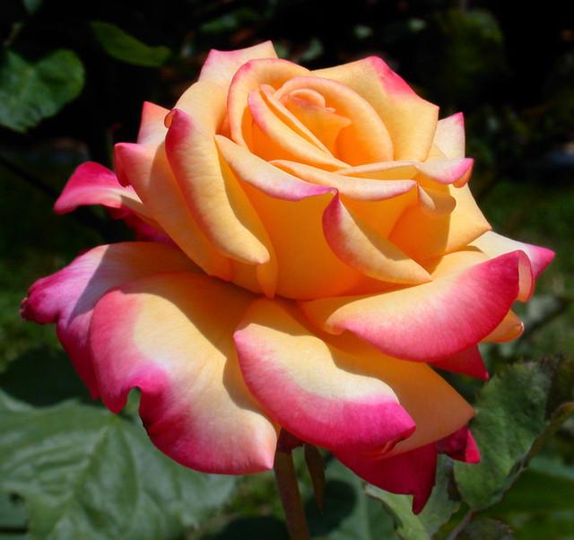 Favorite Grandiflora Roses A Gallery On Flickr