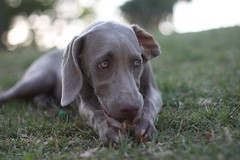 pointer(0.0), braque d'auvergne(0.0), dog breed(1.0), animal(1.0), blue lacy(1.0), dog(1.0), weimaraner(1.0), german shorthaired pointer(1.0), carnivoran(1.0),