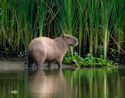 obligatory Capybara pic