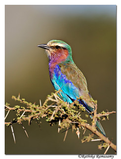 Colourful birds of Tanzania