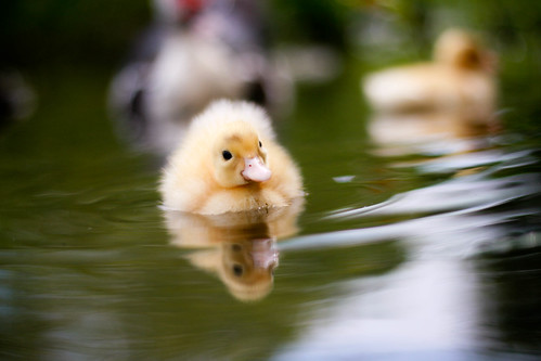 duckling by ~Shona Leah