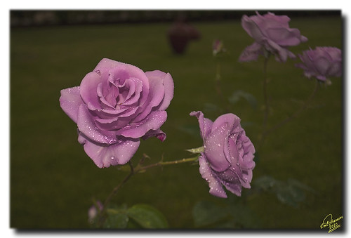 pink roses rose geotagged softfocus pinkroses anawesomeshot nikond90 mygearandme flickrstruereflection1 geo:lat=411689664471026 geo:lon=24315919846313477 flickr4682449208