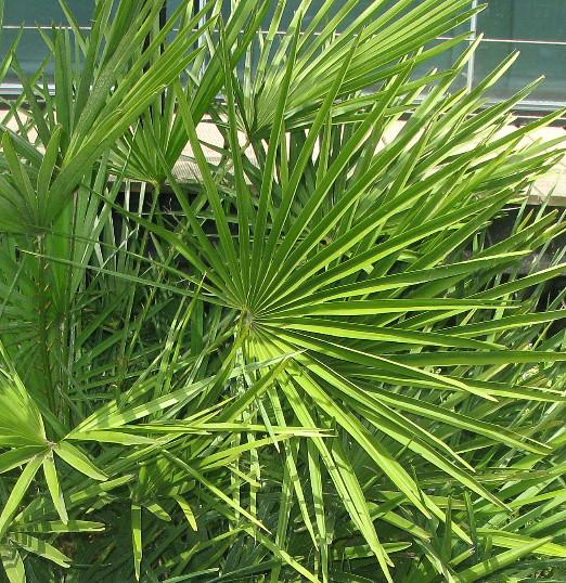Palmier doum ou nain jardin botanique flickr photo sharing - Petit nain de jardin toulouse ...