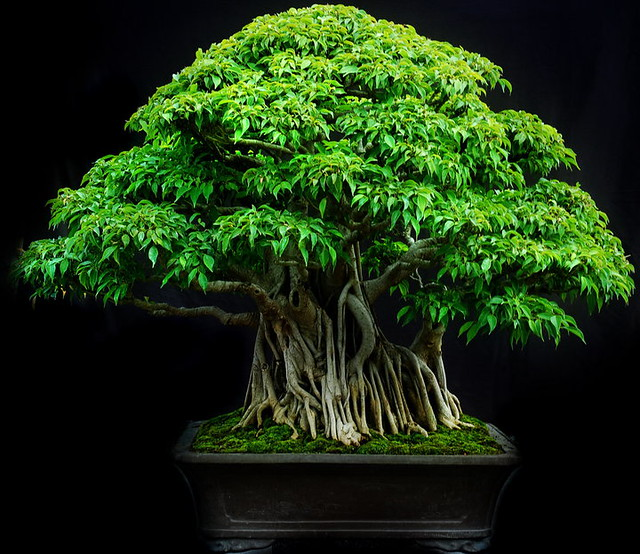Image Result For Bonsai Indonesia