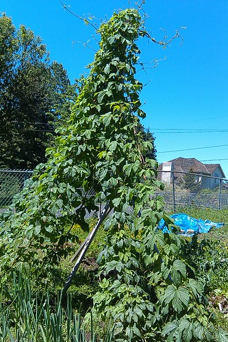 Hops tower