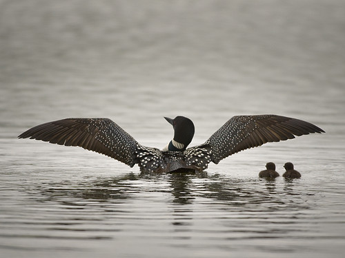 Common Loon (Gavia immer) with chicks