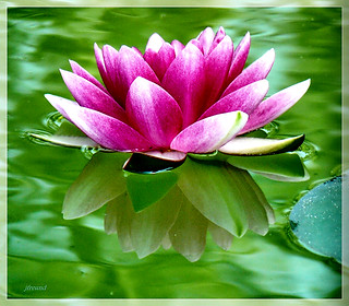 Water-lily and reflection