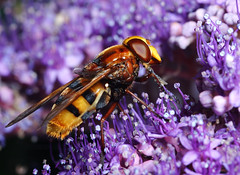 Hoverfly, Myathropa florae, unknown