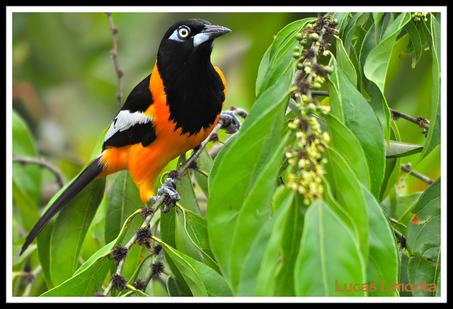 Venezuelan Troupial (Icterus icterus) | Flickr - Photo Sharing!