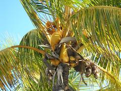 arecales, leaf, tree, flora, produce, fruit, food, elaeis,
