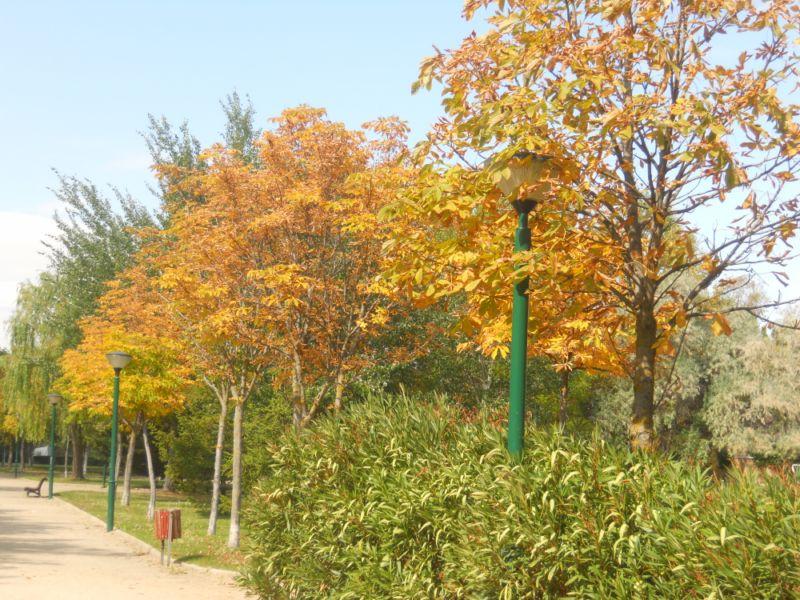 Castaño de indias en otoño 3