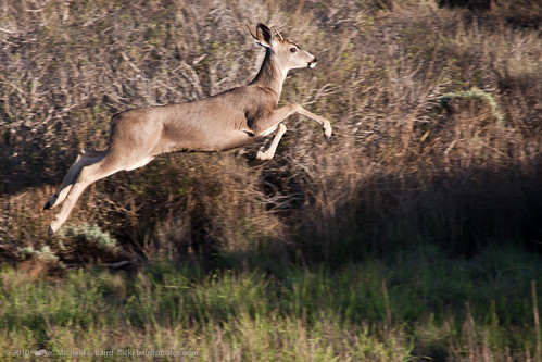 Jumping mule deer (Odocoileus hemionus)