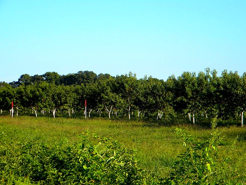 trees tree field fruit farm harvest peach orchard ag delaware agriculture omar treetrunks sussexcountyde bennettpeachorchard omarde whitetreetrunk