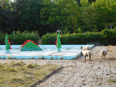 This is what happens when you invite sheep to the pool