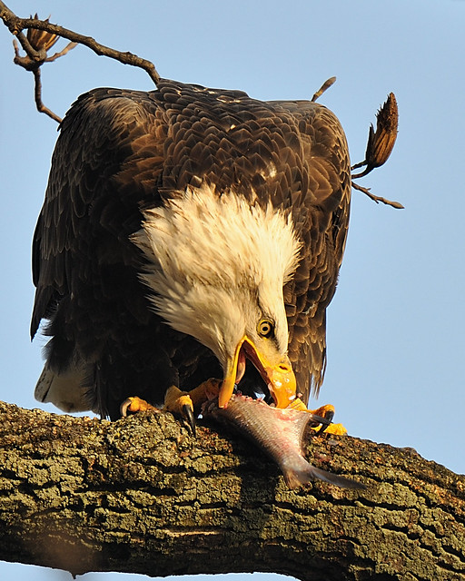 Eagle With Fish For Lunch
