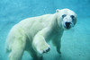 underwater polar bear {2/365}