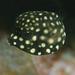 Baby Trunkfish by petersbar