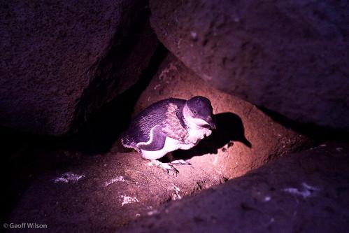 Penguin, St Kilda Breakwater