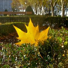maidenhair tree(0.0), flower(0.0), grass(0.0), deciduous(1.0), shrub(1.0), garden(1.0), branch(1.0), leaf(1.0), yellow(1.0), tree(1.0), sunlight(1.0), plant(1.0), nature(1.0), flora(1.0), green(1.0), maple leaf(1.0), autumn(1.0),