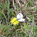 Small photo of Indian Cabbage White. Pieris canidia indica