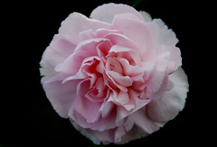 carnation, rosa 㗠centifolia, flower, macro photography, theaceae, peony, pink, petal,
