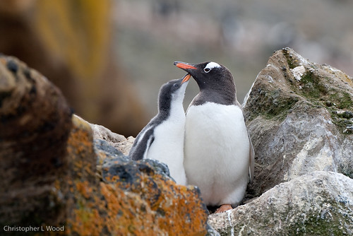 Gentoo Penguin nest by Christopher L Wood