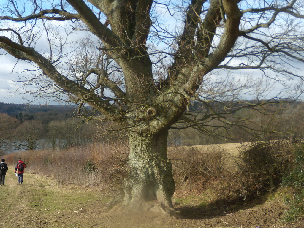 Gnarled oak Balcombe round (winter)