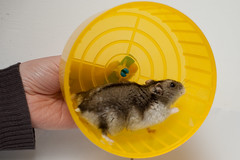 animal, yellow, rodent, pet, hamster,
