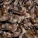 Healthy Virginia big-eared bats