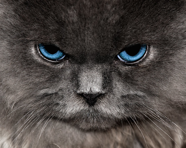 Angry Blue Eyed Grey Cat