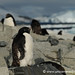 Penguins Getting a Bit of Sun - Prospect Point, Antarctica