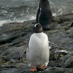 Gentoo Penguin in the Argentine Islands - Antarctica