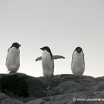 Adelie Penguins Lined Up in a Row - Antarctica