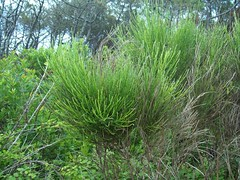 shrub, tree, plant, chrysopogon zizanioides, herb, flora, biome, vegetation,